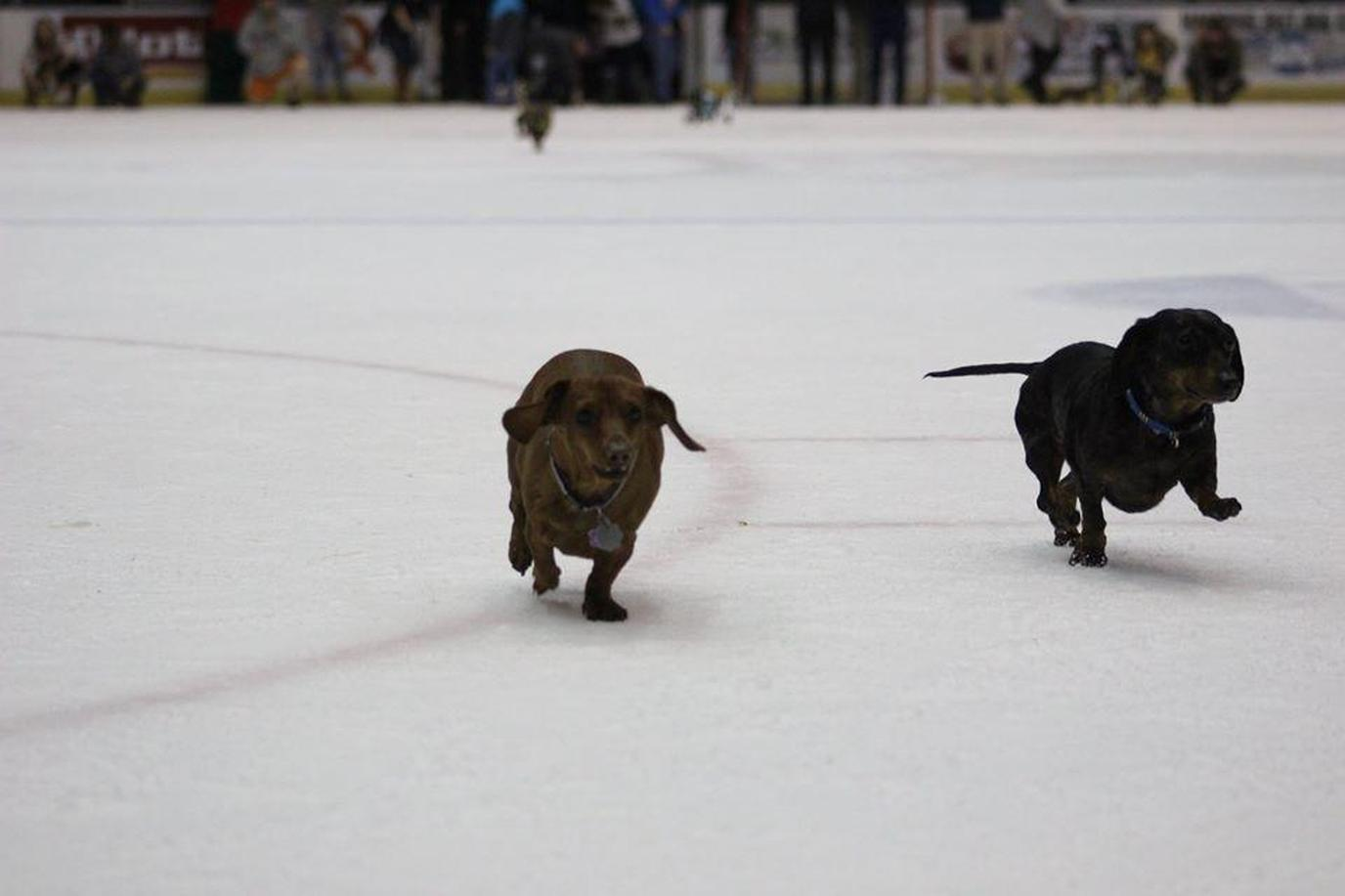 Two Dachshunds Run Across the Ice at a Dog-Friendly Hockey Game in Tennessee.