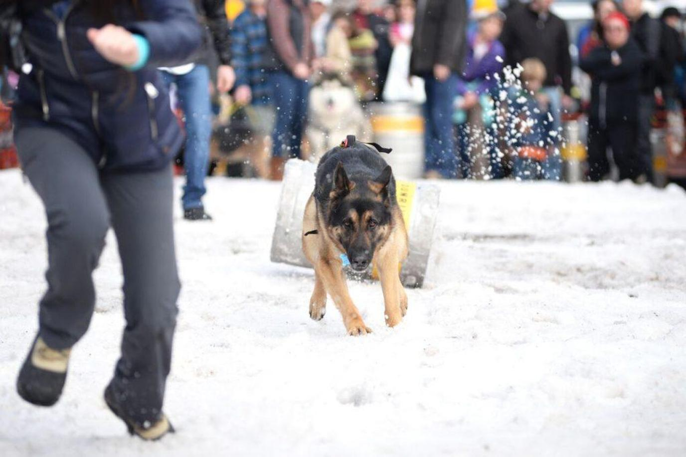 Dogs pull kegs in a competition of speed in the the Sunriver Brewing Company K-9 Keg Pull.