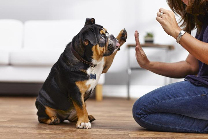 A Bulldog Gives a High Five to a Petco Dog Trainer.