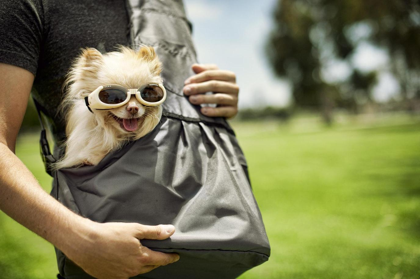 A Healthy Dog Wears Sunglasses as She Rides in a Backpack.