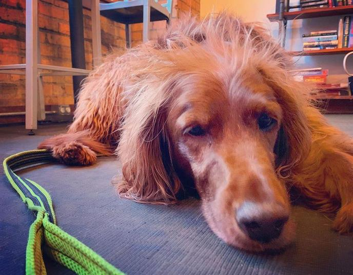A Tired Dog Lies on the Floor at a Pet-Friendly Coffee Shop in Minneapolis.
