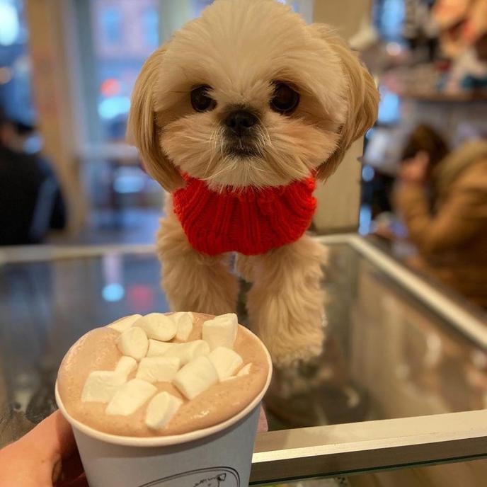 A Shih Tzu Looks at a Puppacino from Boris and Horton, a Pet-Friendly Coffee Shop in NYC.