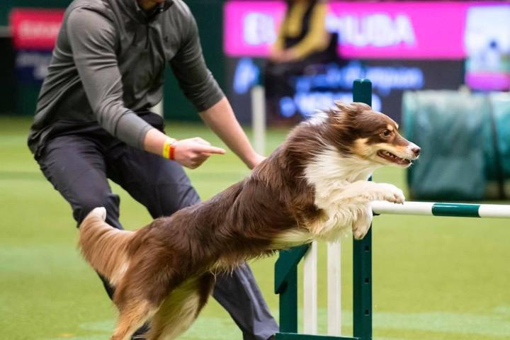 Crufts competitions include events like agility.