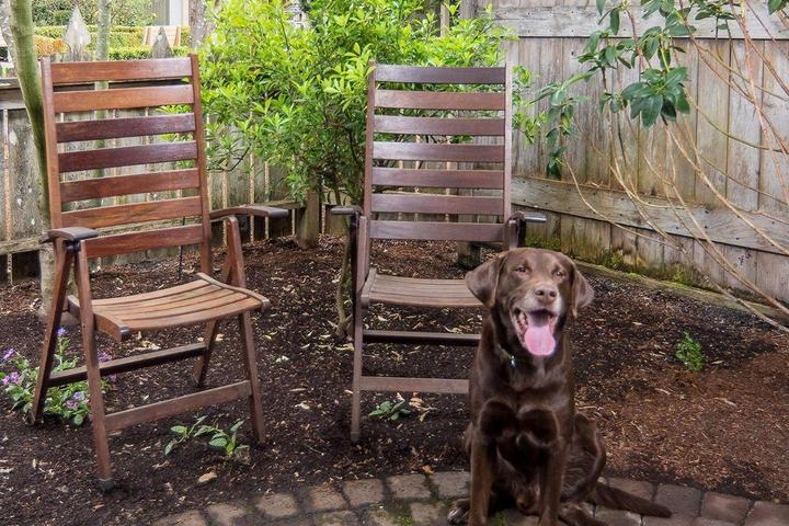 A Chocolate Lab Sits on the Fenced Patio Attached to His Pet-Friendly Room at the Village Green.
