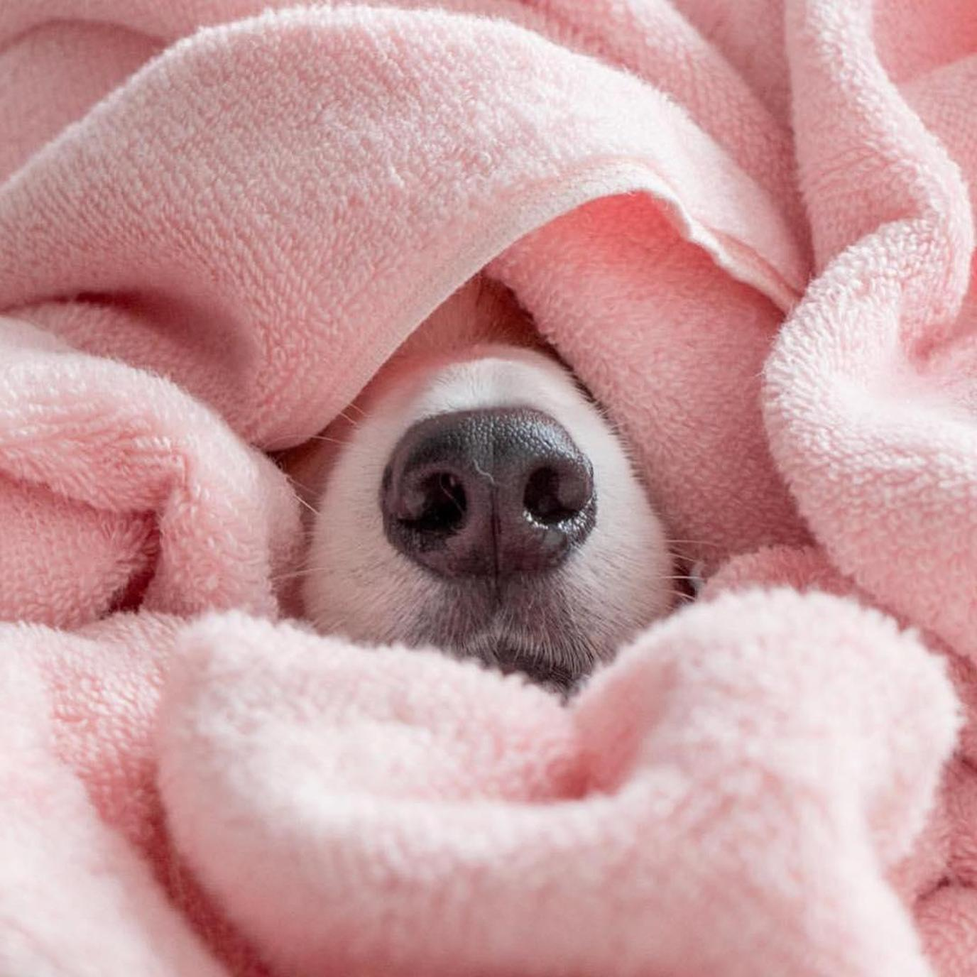Wash all of Fido's bedding, blankets and pillows with a dog-safe laundry detergent.