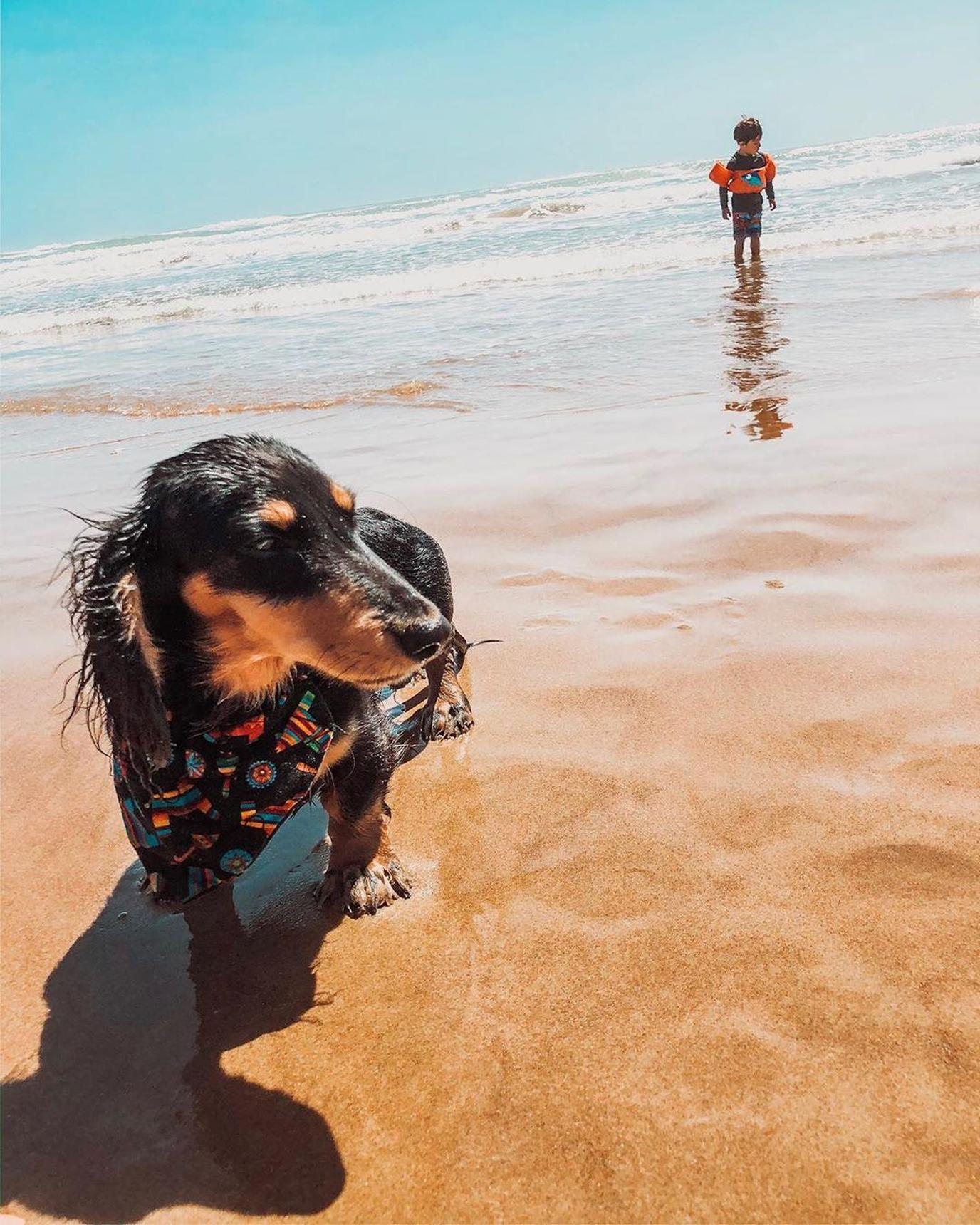A Black Dacshund Plays in the Water in South Padre Island, a Pet-Friendly Spring Break Destination.