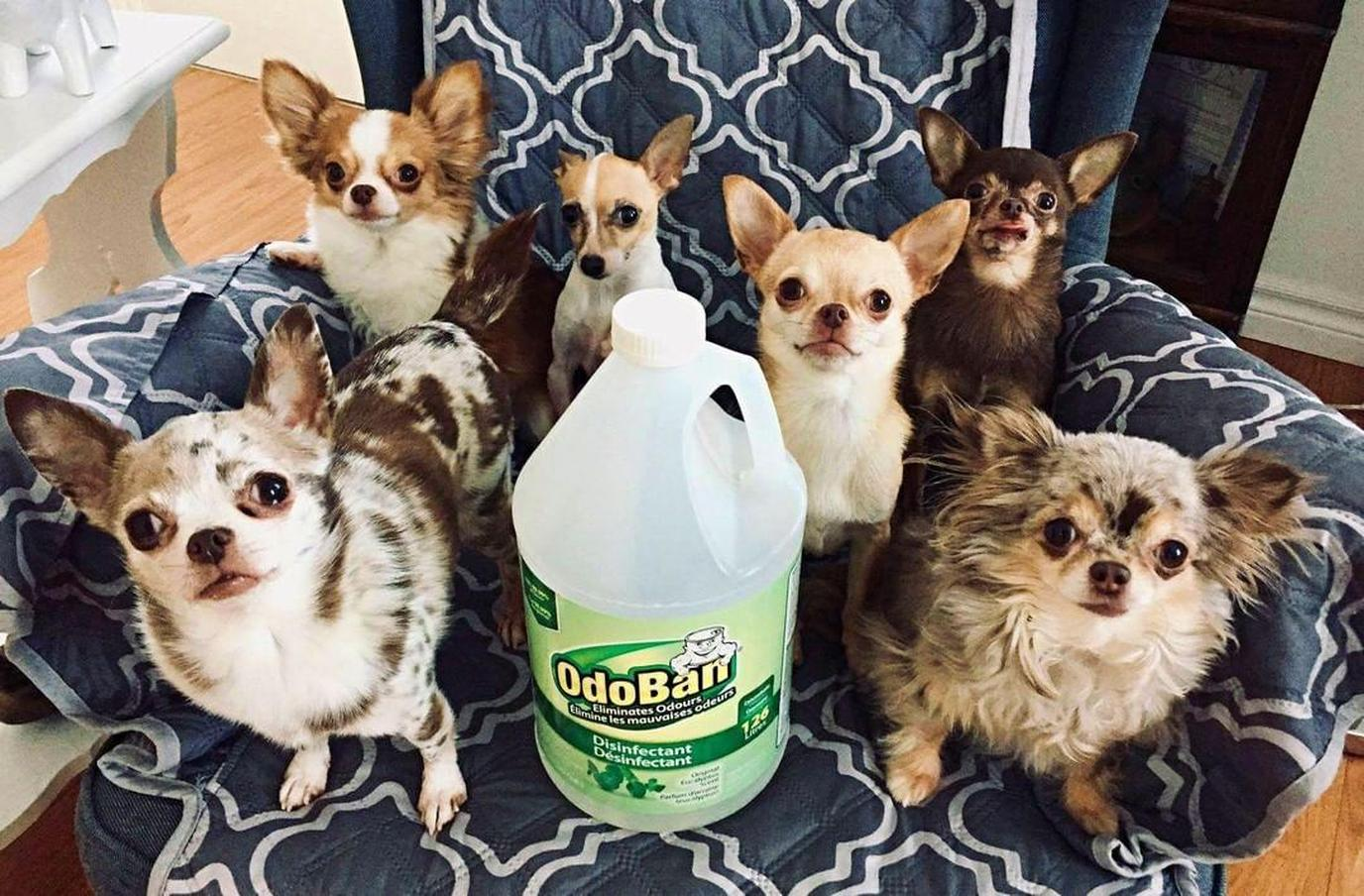 Use a pet-safe floor cleaner like OdoBan Floor Cleaner.