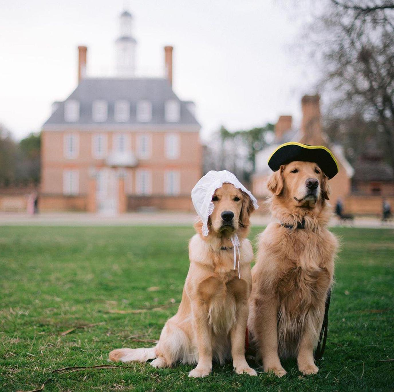 Two Retrievers Wear Colonial-Era Hats While Visiting Pet-Friendly Colonial Willamsburg.