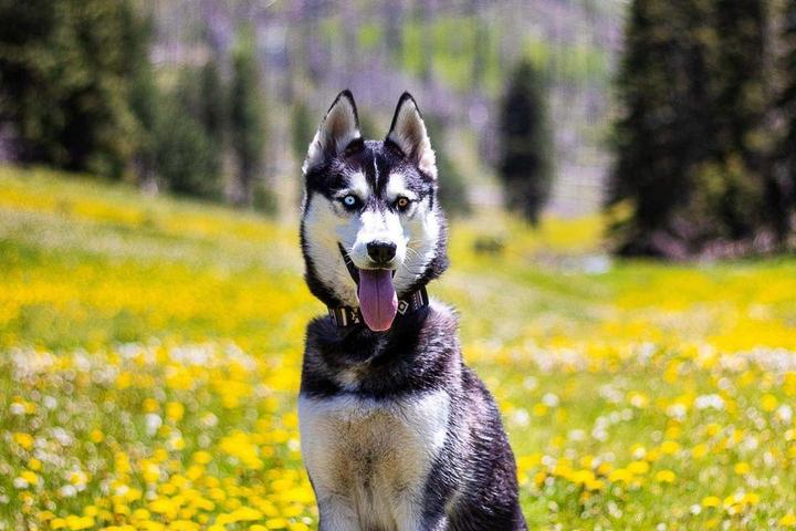 A Dog Sits in a Field of Flowers on a Spring Hike.