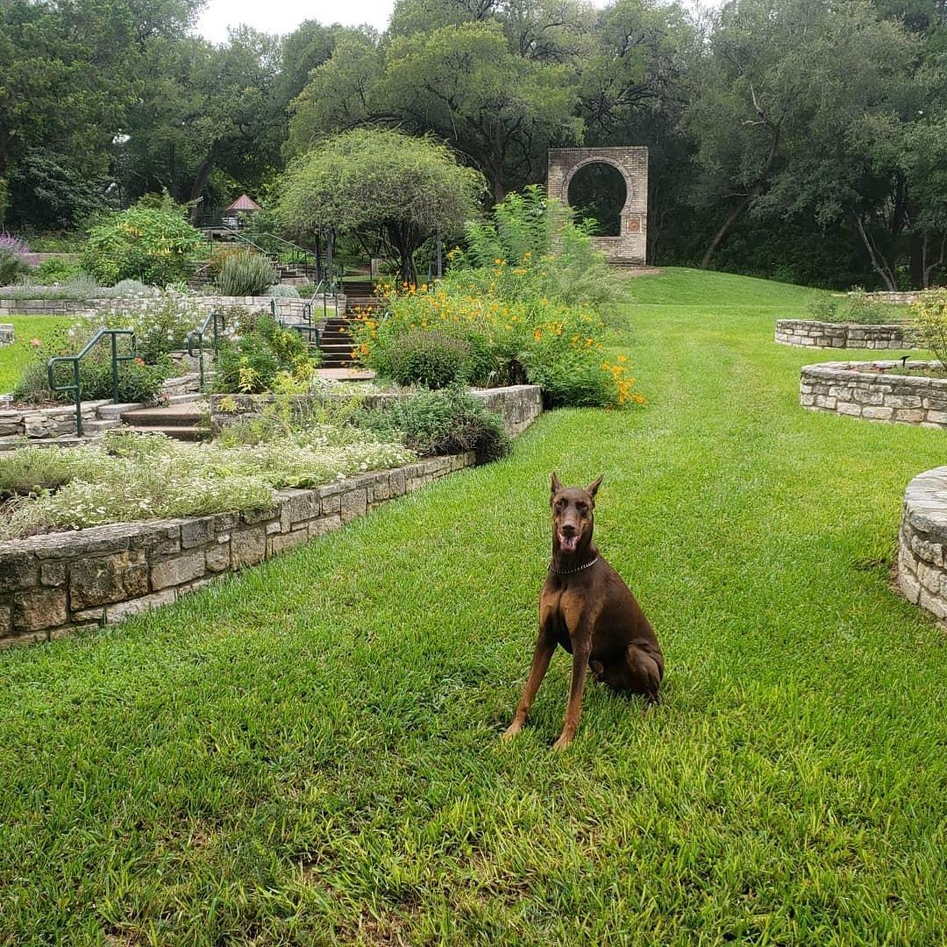 A Doberman Sits in a Pet-Friendly Botanical Garden in Texas.