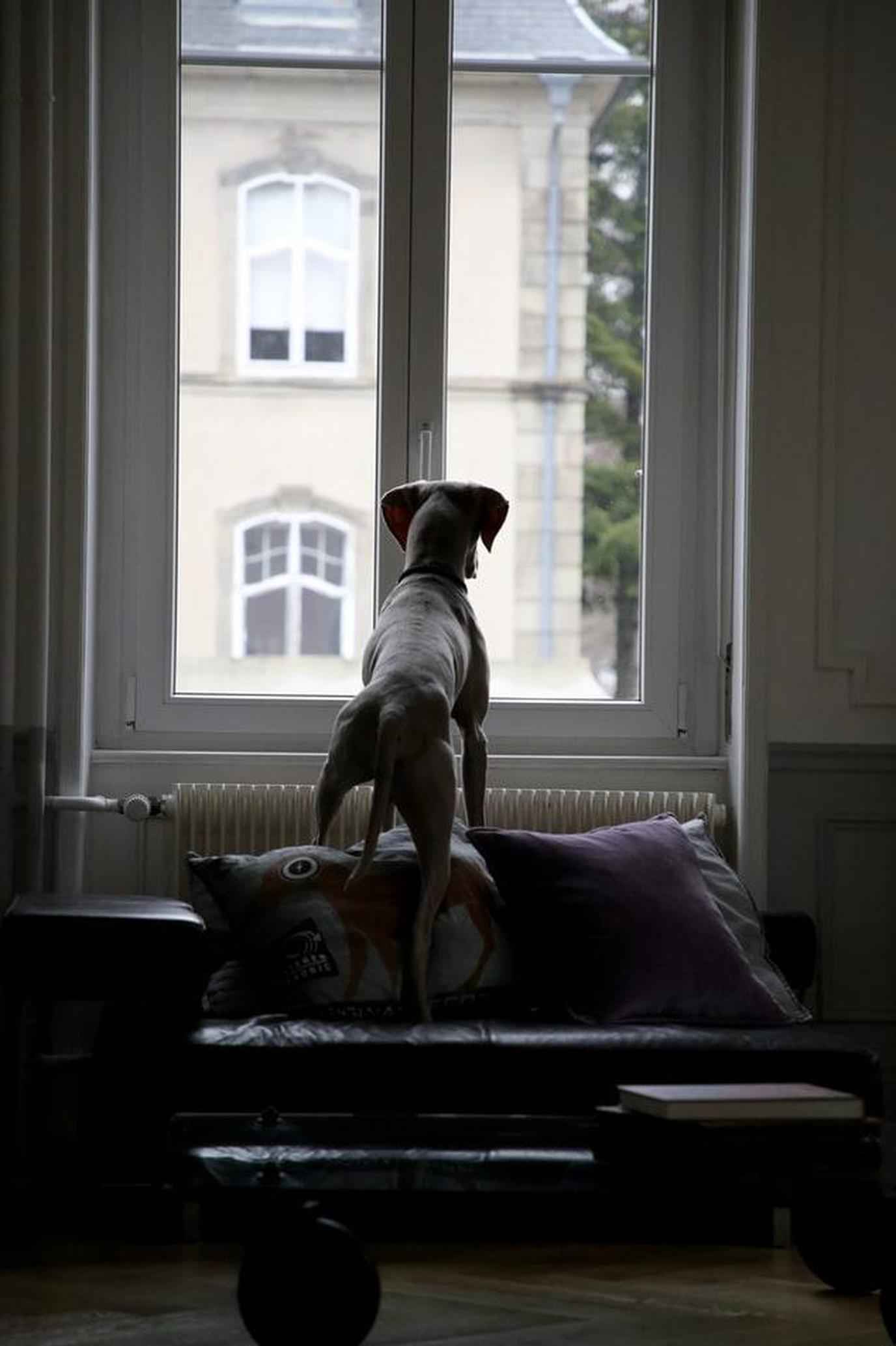 A Dog Stands on a Chair Looking Out of a Window.