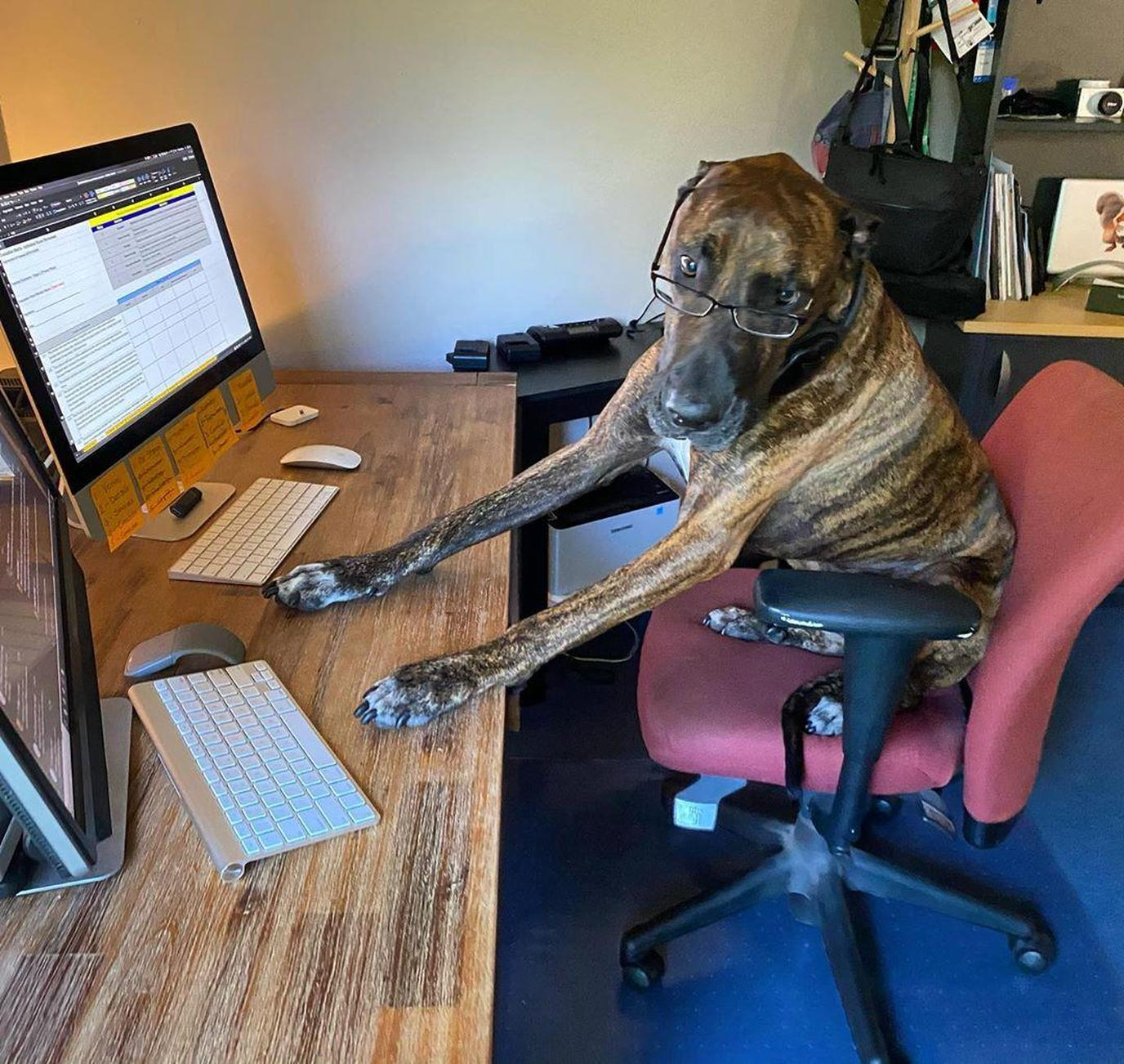 A Brindle-Colored Dog Works From Home at a Desk.