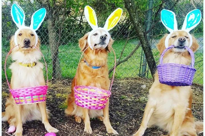 Three Retrievers in Bunny Ears Hold Doggie Easter Baskets in Their Mouths.