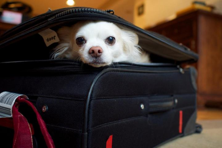A dog sits in a suitcase waiting to travel.
