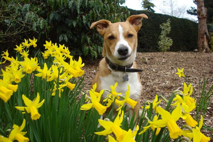 This dog is skeptical of daffodils!