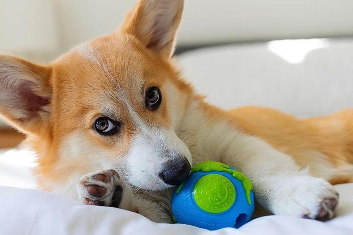 A dog plays with a Planet Dog Orbee-Tuff Orbee Ball.