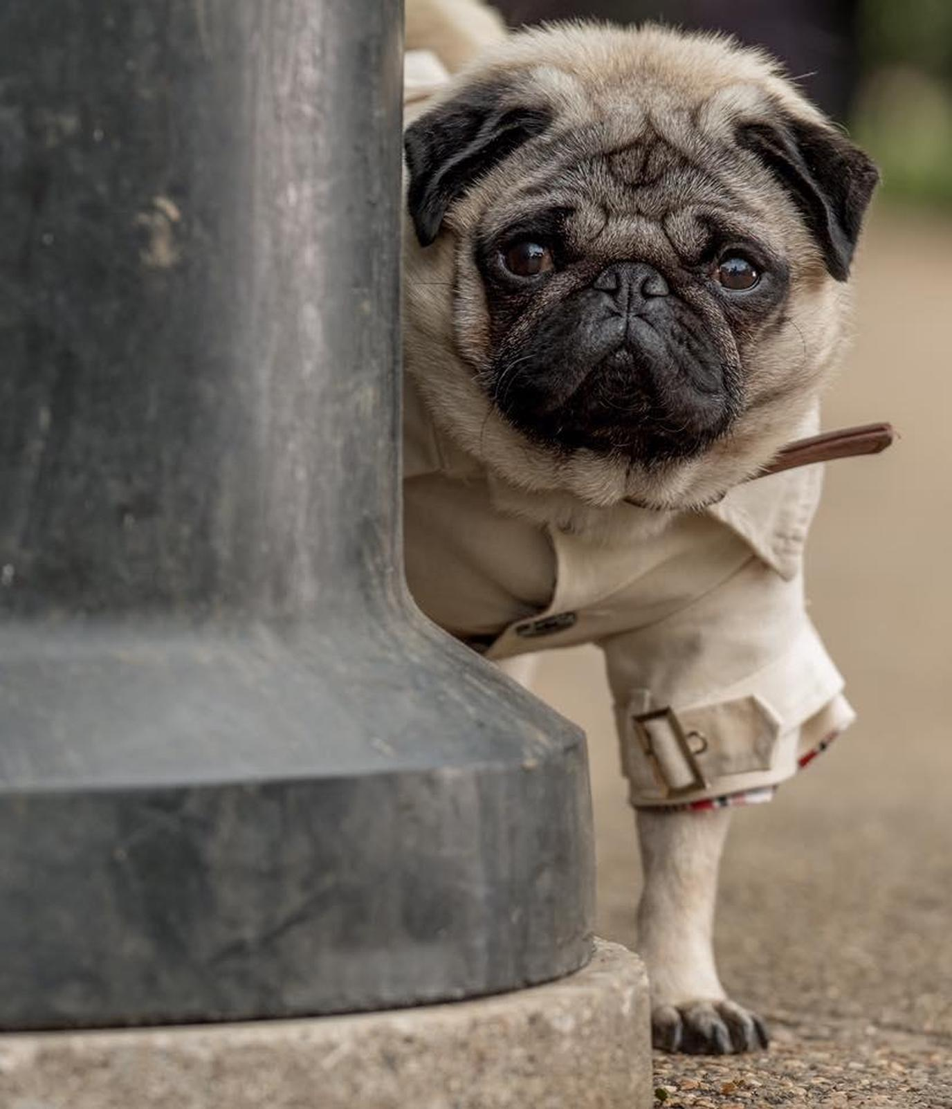 """Patrick"" is a dog movie that tells the story of a mischievous Pug."
