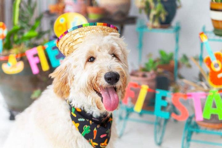 "A festive dog is ready for his Cinco de Mayo ""pawty."""
