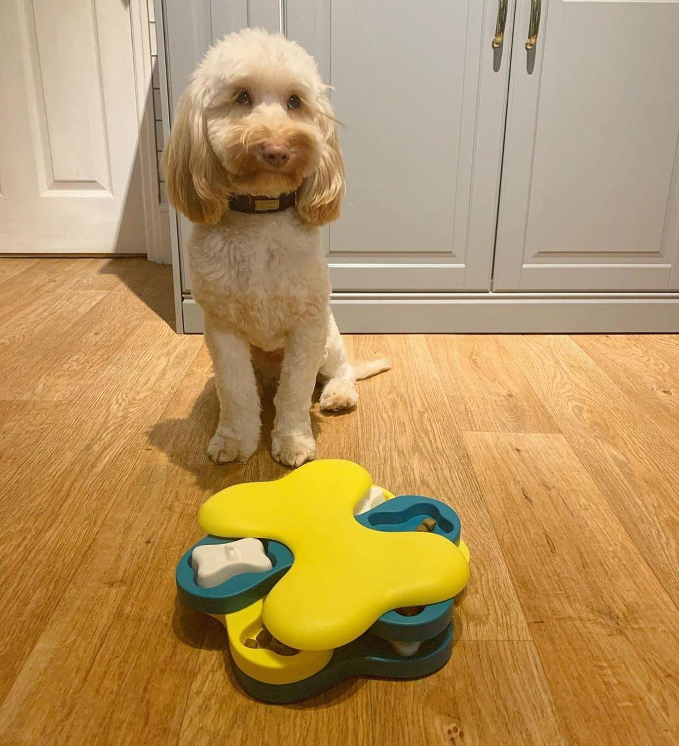 A dog prepares to solve a treat puzzle.