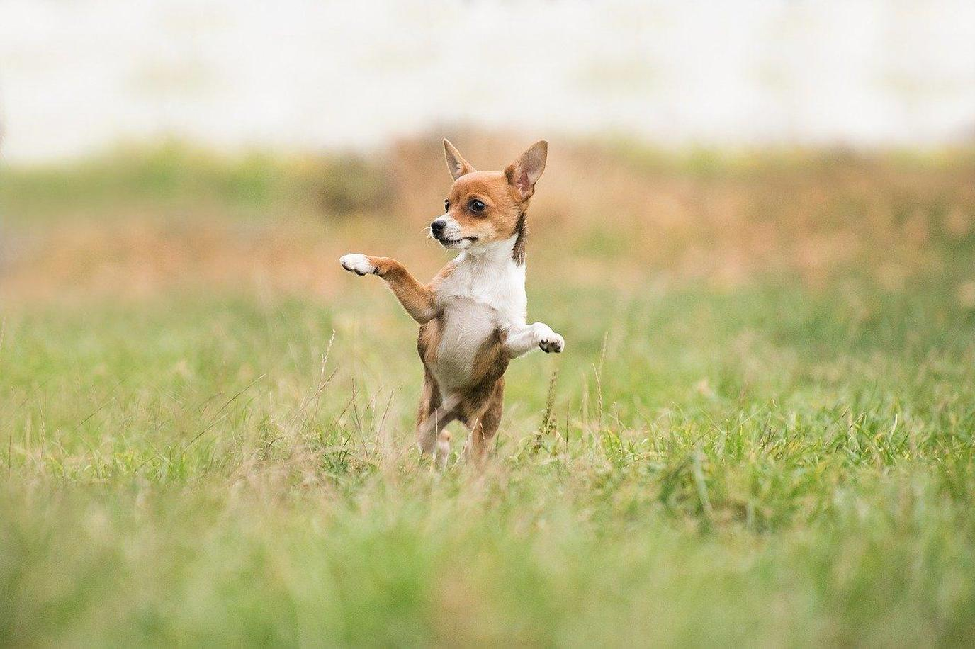 A Chihuahua Stands on Hind Legs in the Grass.