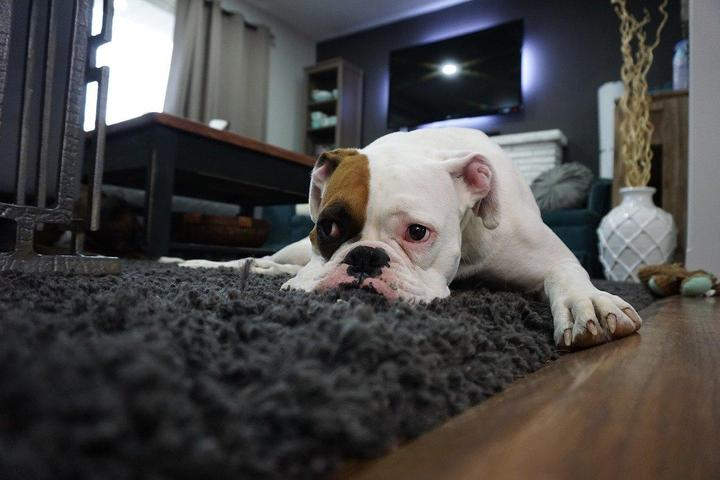 A Boxer Lies Dejectedly on the Living Room Rug.