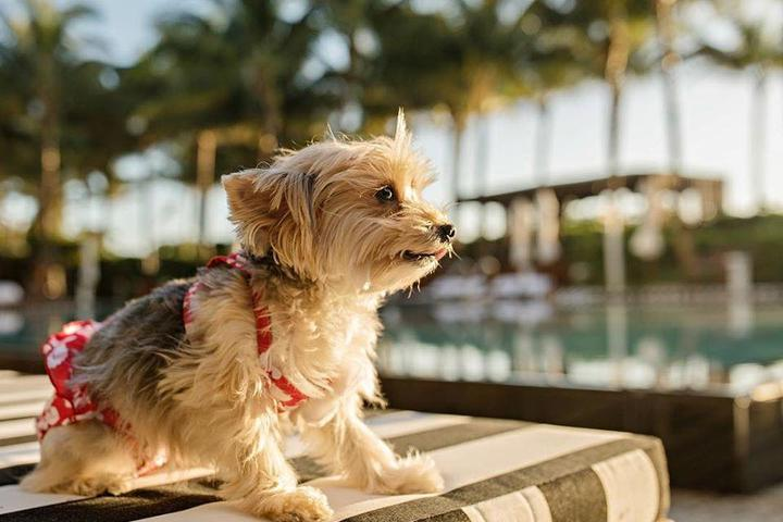 A Yorkie Wears a Two Piece at the Pet-Friendly W South Beach.