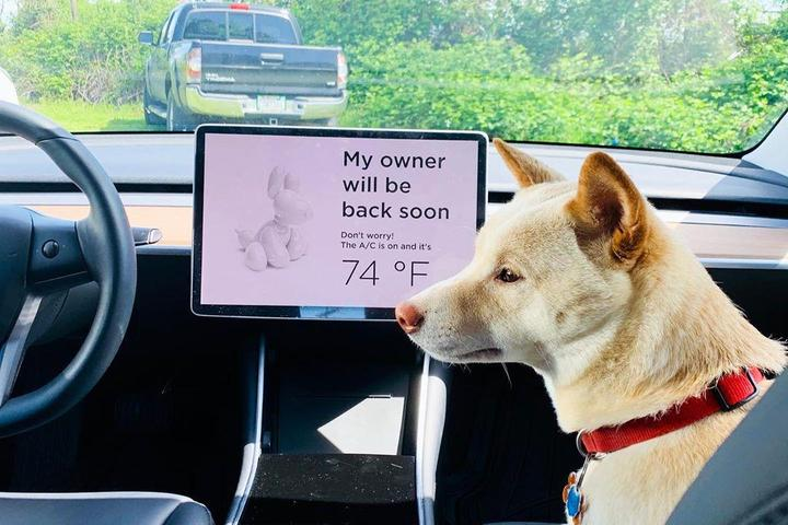 A White Dog Sits Inside a Tesla on Dog Mode.