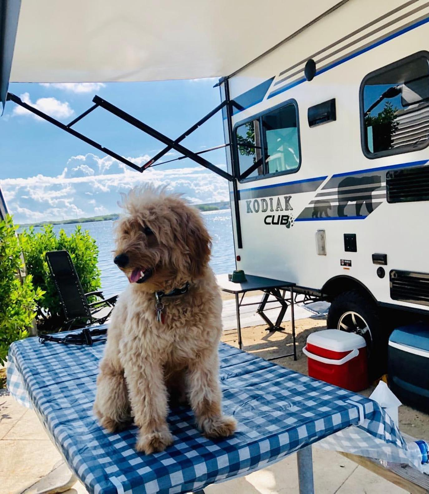 A Goldendoodle Sits on a Table at a Dog-Friendly Beachfront Campground in Key West.