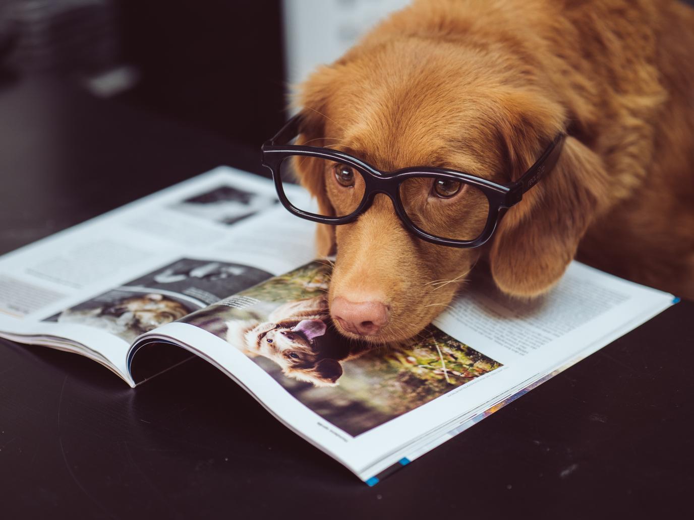 A Dog Wears Black Eyeglasses.