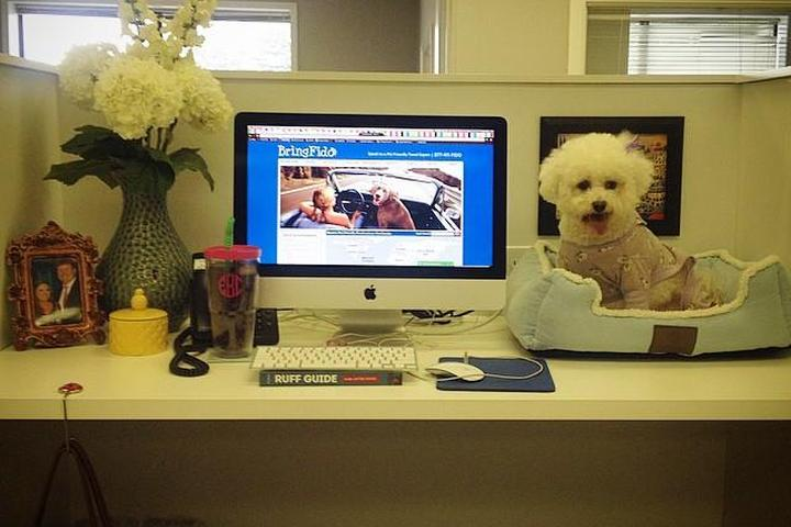A Dog Sits on a Desk in a Pet-Friendly Office.