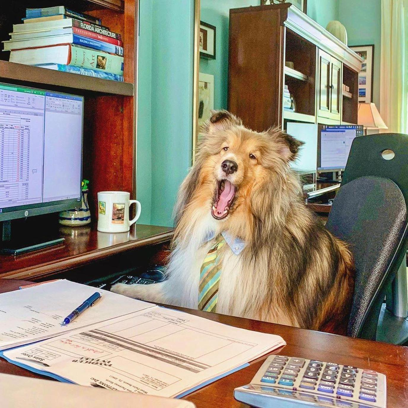 A Fluffy Dog Sits in a Pet-Friendly Office.