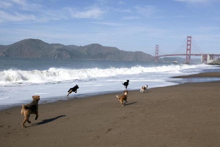 Dogs Run on Baker Beach in Pet-Friendly San Francisco.