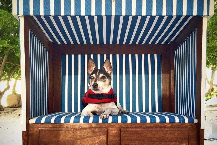 A Small Terrier Sits in a Blue and White Striped Dog Cabana.