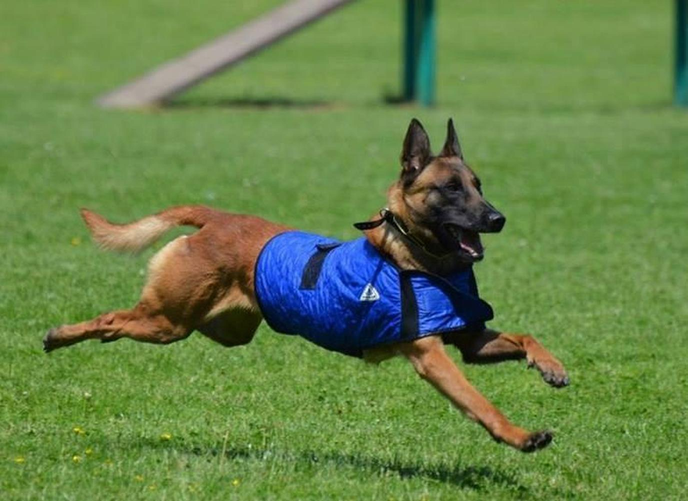 A German Shepherd Runs While Wearing the TechNiche Cooling Dog Coat.