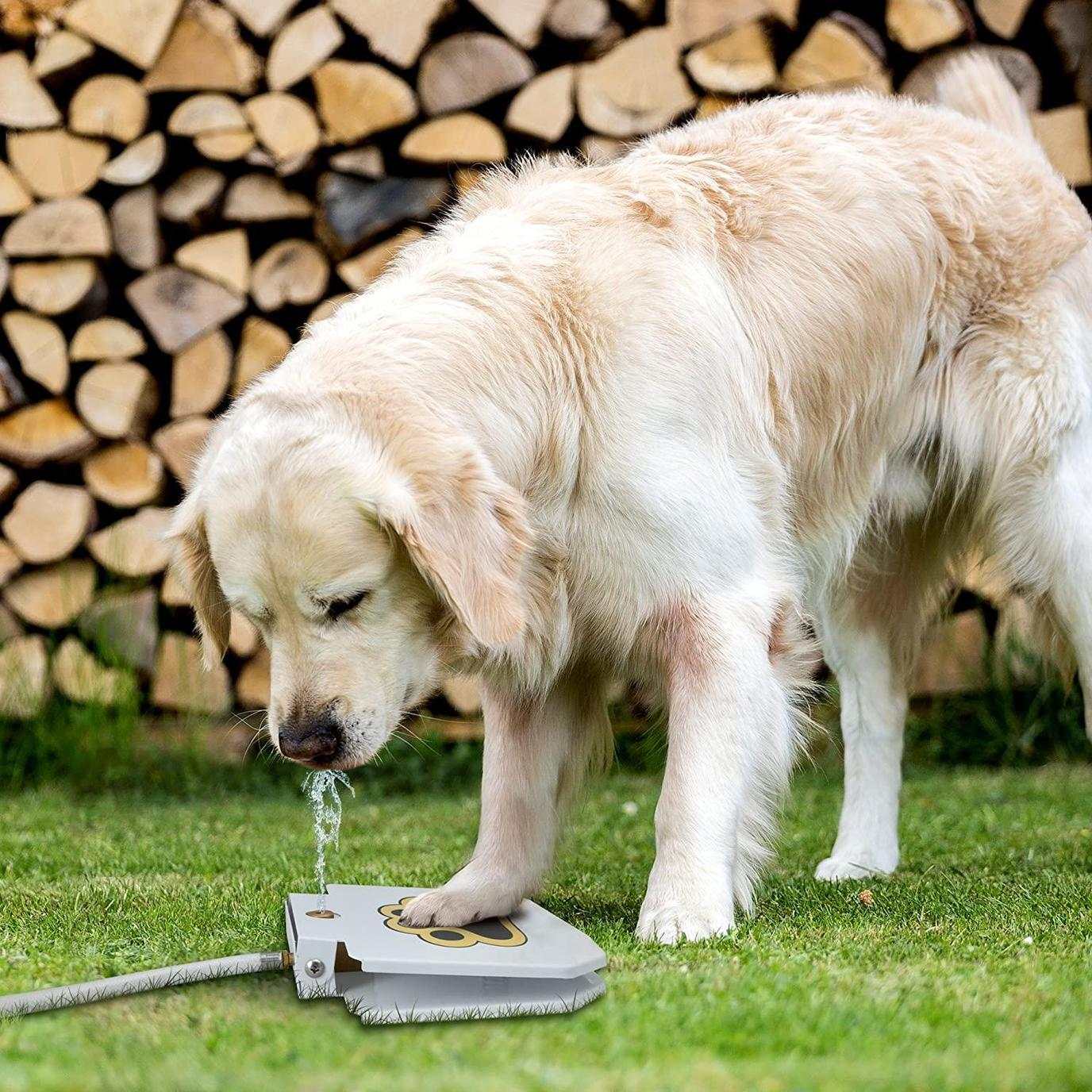 A Retreiver Steps on the Pikolai Outdoor Water Dispenser to Drink Water.