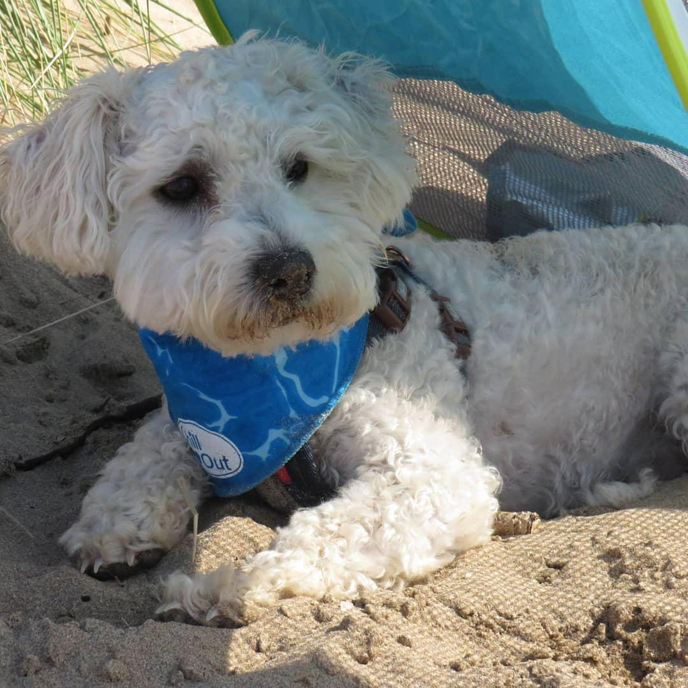 A dog wears an ice bandana to beat the summer heat.