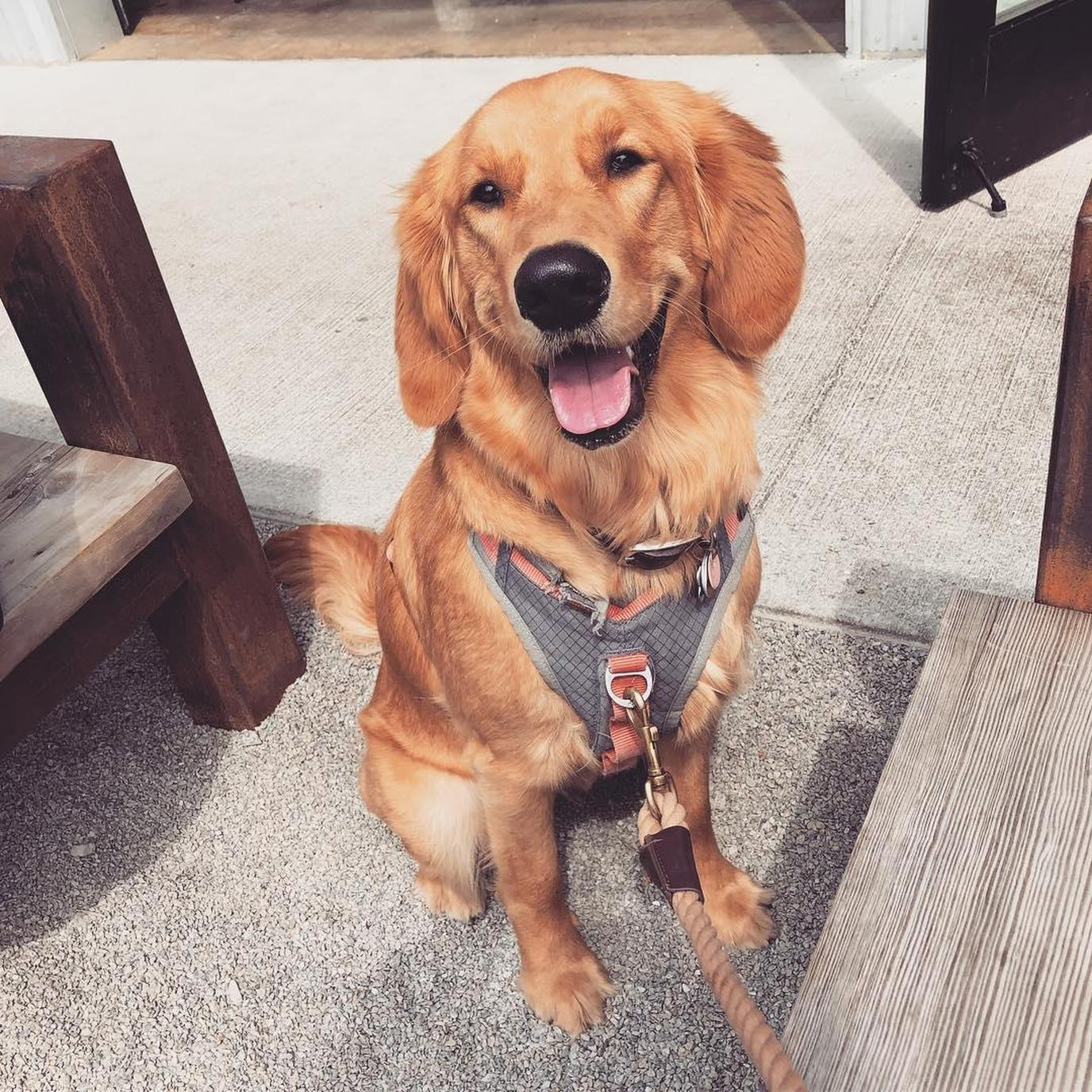 Golden Retriever Sits on the Patio of a Dog-Friendly BBQ Restaurant in Richmond.