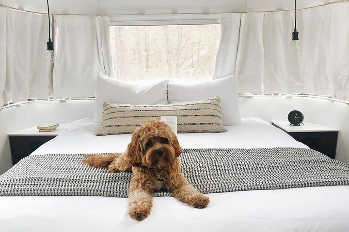 Curly Brown-Haired Dog Lays on a Bed While Pet-Friendly Glamping Spot Near Yosemite National Park.