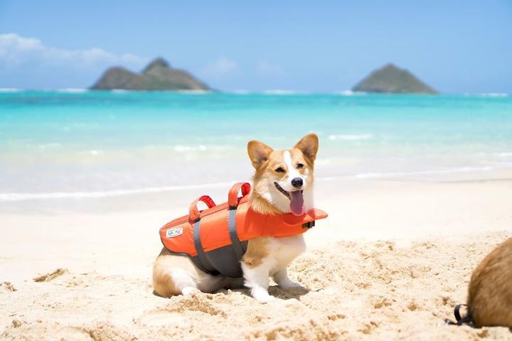 Corgi Wears an Outward Hound Life Jacket at the Beach.
