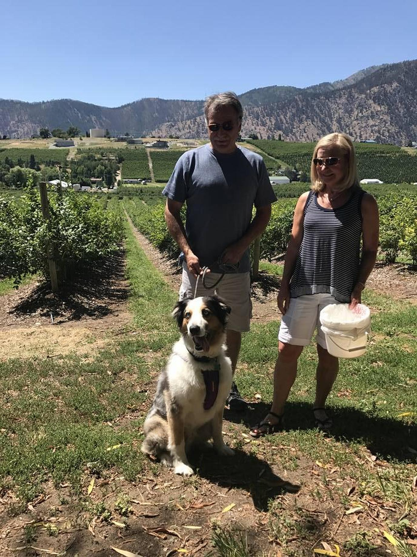 A couple and their dog picking blueberries.