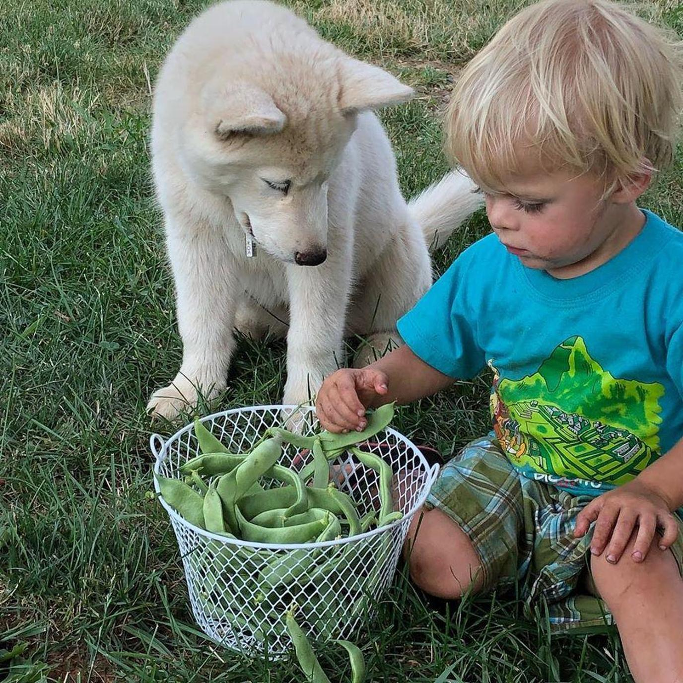 A dog and a child pick green beans together at a pet-friendly farm.