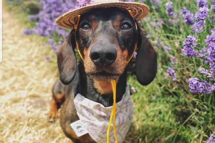 "8 ""Scentsational"" Pet-Friendly Lavender Farms to Visit This Summer"