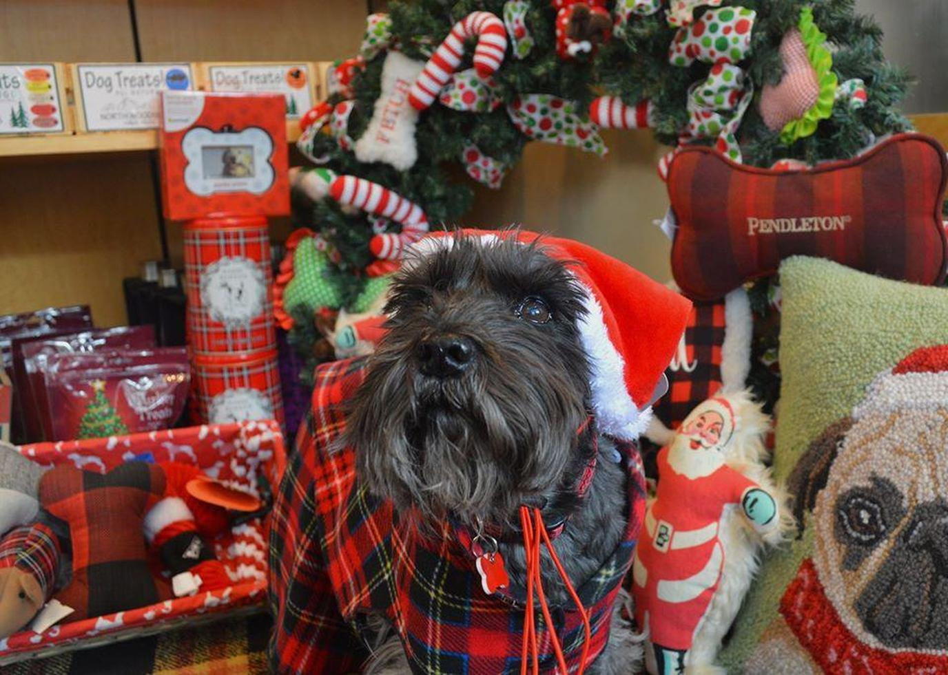 A dog in Christmas clothes at the Broadmoor
