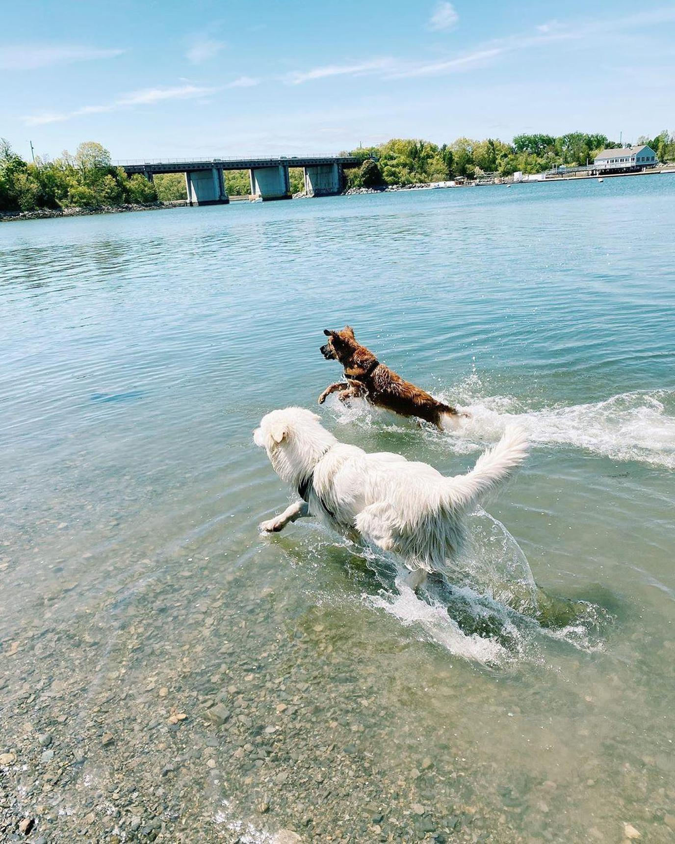 two dogs playing at the Stodder's Neck Dog Park  a Pet-Friendly Swimming Holes