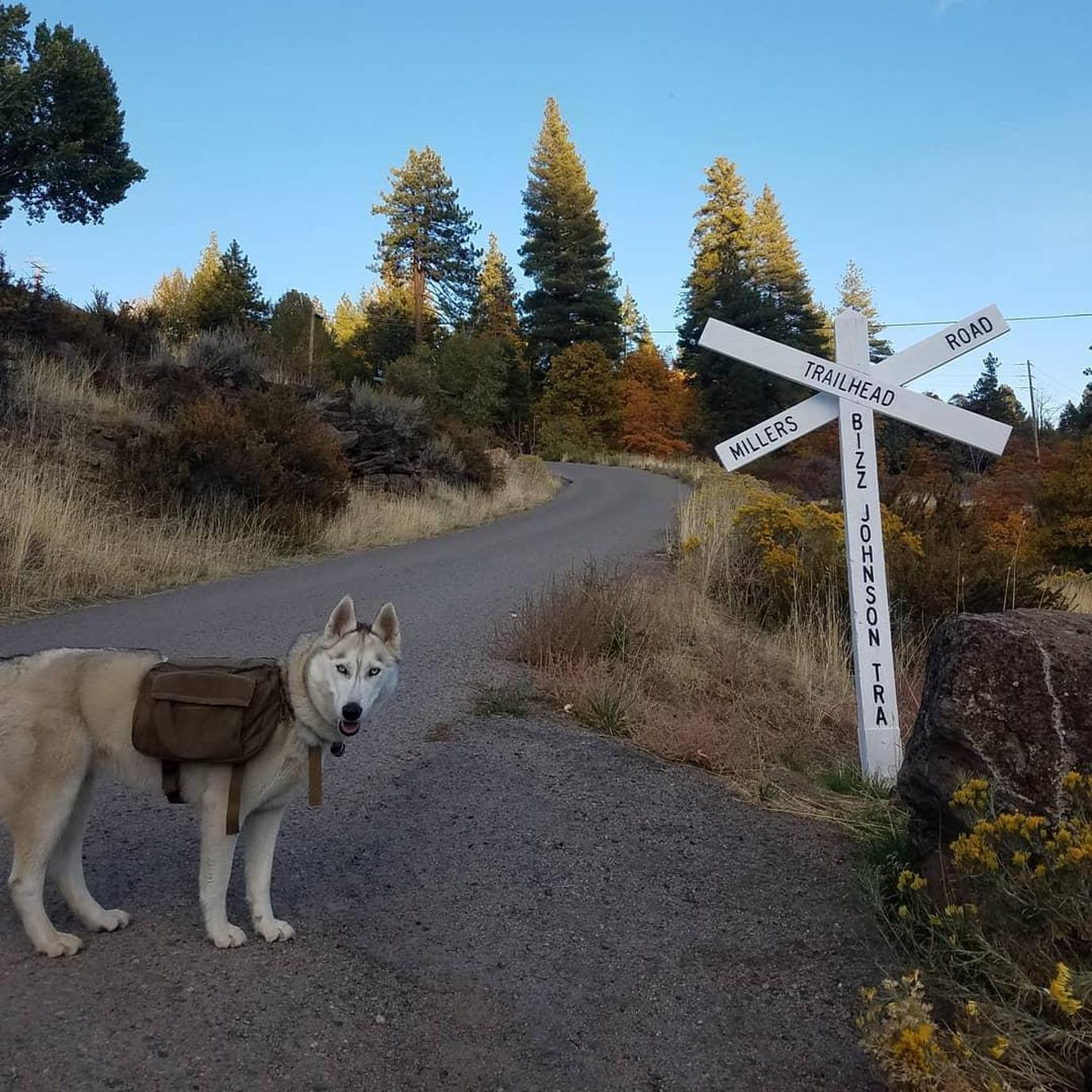A husky taking a walk at Bizz Johnson National Recreation Trail
