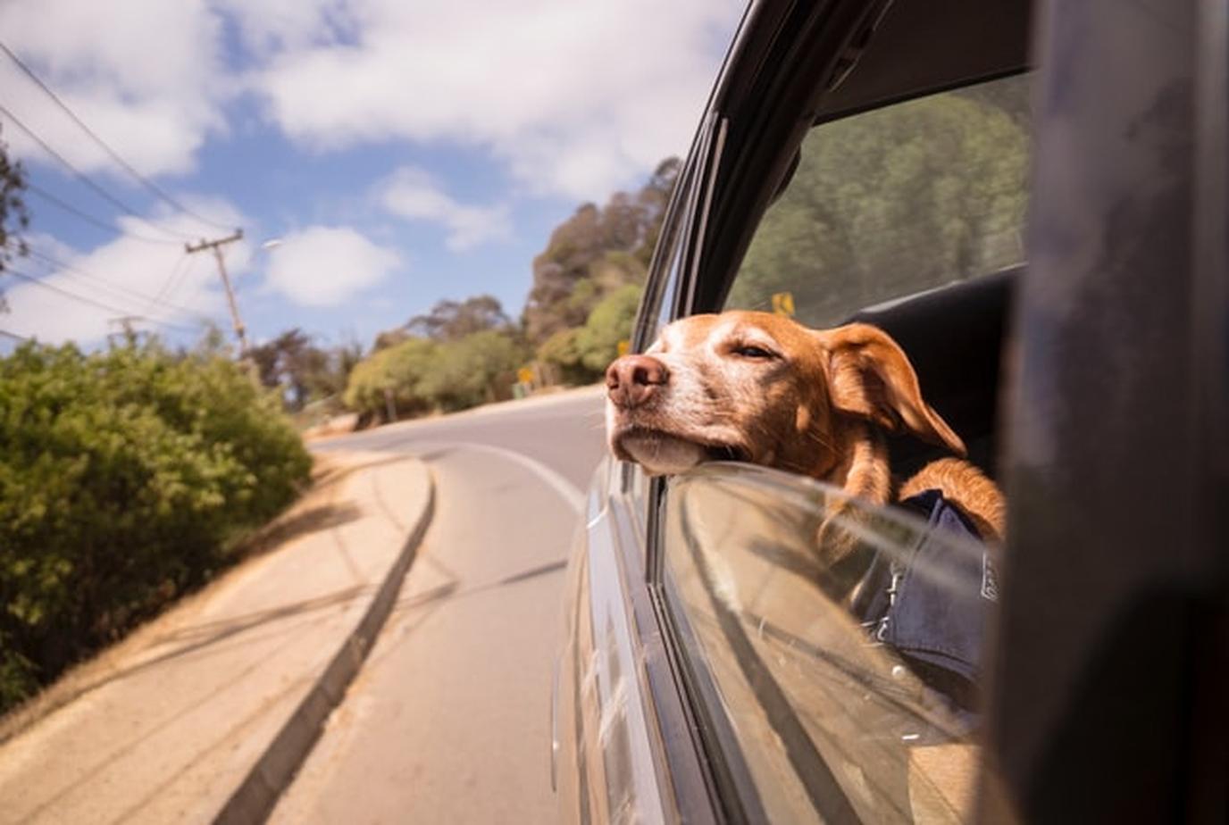 a dog on a road trip