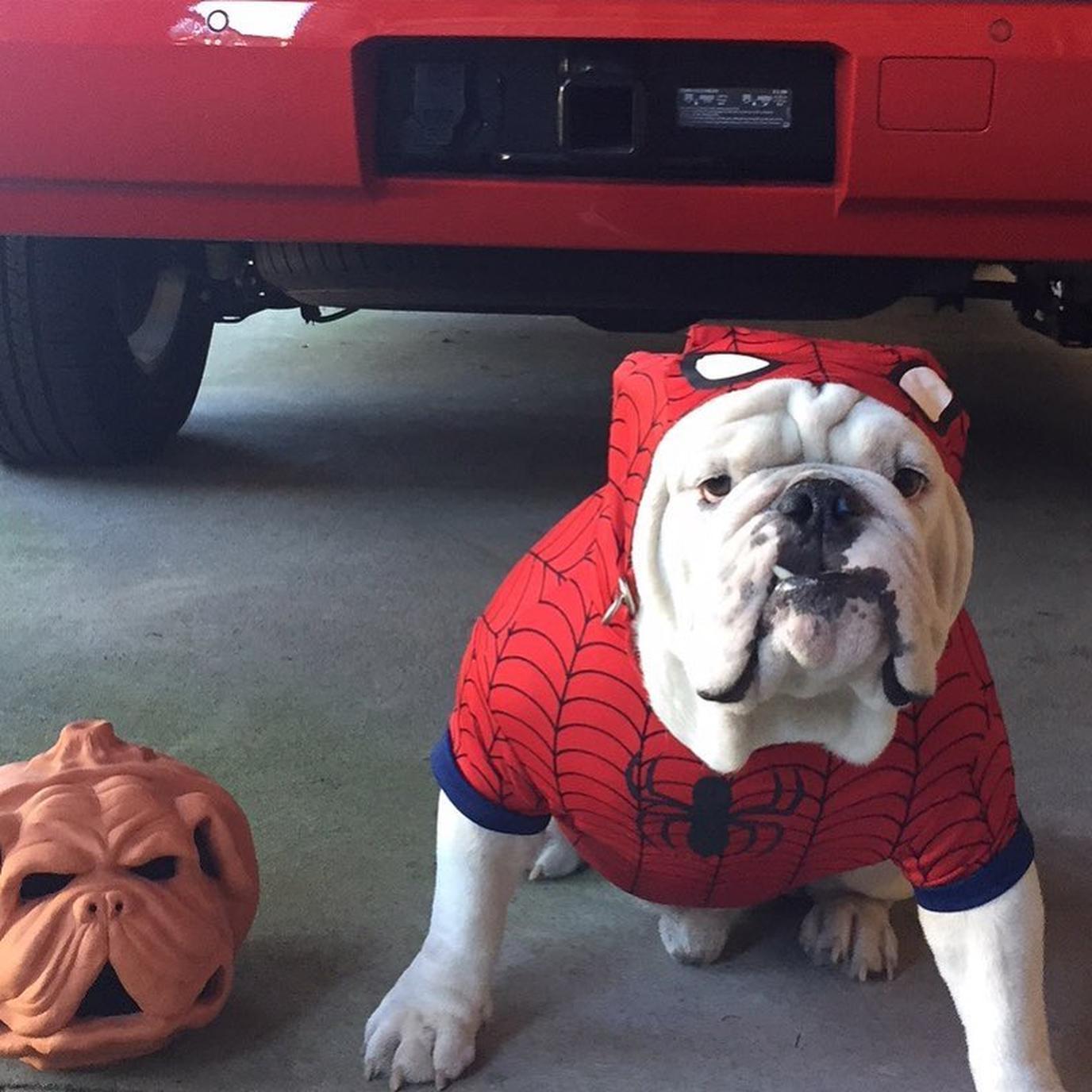 Uga the University of Georgia Dawgs mascot in his Halloween costume.