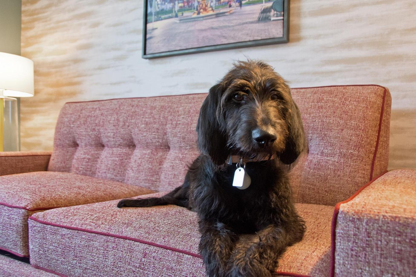 A dog lounges on the sofa at the pet-friendly Home2Suites by Hilton Brooklyn Park.