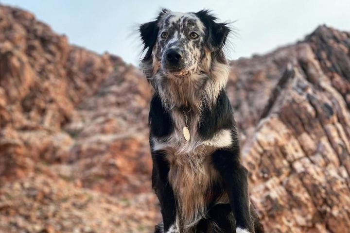 Australian Shepherd at Red Rock Canyon National Conservation Area.