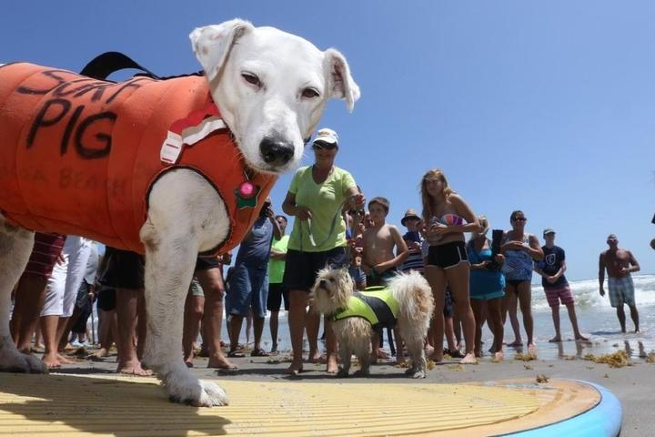 A surfing dog poses for a pic at the  East Coast Dog Surfing Championship.